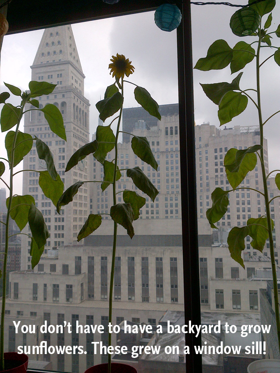 sunflowers-in-the-city